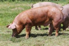 Maiali domestici che pascono sull'estate della fattoria degli animali Fotografia Stock Libera da Diritti