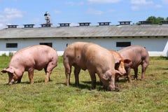 Maiali domestici che pascono sull'estate della fattoria degli animali Fotografia Stock