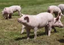 Maiali domestici sul prato sulla fattoria degli animali Immagini Stock