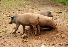 Maiali iberici nel fango dell'azienda agricola, sierra de Huelva, Spagna Fotografie Stock Libere da Diritti