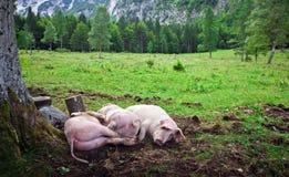 Maiali liberi della gamma ai campi verdi sloveni fotografie stock