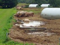 Maiali nel campo con i ripari Immagine Stock
