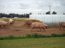 Maiali nel campo con il riparo Fotografia Stock