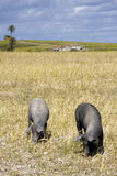 Maiali neri nel terreno coltivabile rurale Fotografia Stock