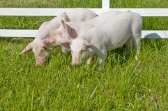 maiali piccoli Immagine Stock