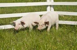 maiali piccoli Fotografie Stock Libere da Diritti