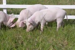 maiali piccoli Immagini Stock