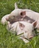 maiali piccoli Fotografia Stock