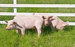 maiali piccoli Immagine Stock Libera da Diritti