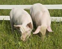 maiali piccoli due Fotografie Stock Libere da Diritti
