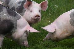 Maiali pietrian macchiati della razza che pascono alla fattoria degli animali sul pascolo Immagini Stock Libere da Diritti