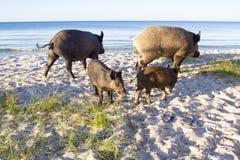 Maiali selvaggi con due porcellini sulle sabbie della costa di mare Fotografia Stock