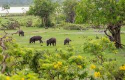 Maiali selvaggi in habitat naturale Immagini Stock Libere da Diritti