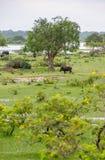 Maiali selvaggi in habitat naturale Immagini Stock