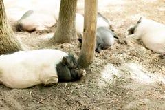 Maiali sull'azienda agricola Maiali felici sull'azienda agricola di maiale che riposa nell'ambito della luce solare Fotografia Stock Libera da Diritti