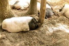 Maiali sull'azienda agricola Maiali felici sull'azienda agricola di maiale che riposa nell'ambito della luce solare Fotografia Stock