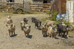 maiali in un cortile nel villaggio Fotografia Stock