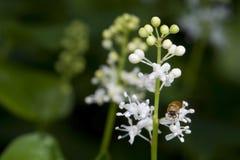 Maianthemum bifolium Stock Photo