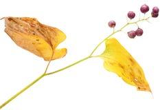 Maianthemum bifolium Royalty Free Stock Image