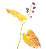 Maianthemum bifolium Royalty Free Stock Photography
