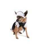 Maid dog Stock Photos