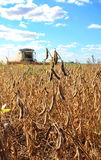 Maid Mature soybeans. Maid Mature soybean harvester in a field in autumn Royalty Free Stock Images