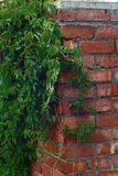 The maiden grapes on a brick wall. Royalty Free Stock Photo