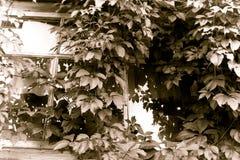 Maiden grapes & x28;Parthenocissus& x29; on the window. Retro style. Sepia effect stock photos