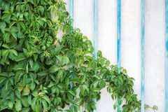 Maiden grapes on the wall. stock images
