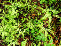 Maiden hair fern Stock Images