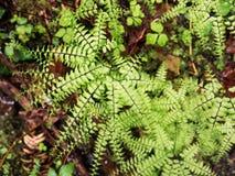 Maiden hair fern Royalty Free Stock Photos