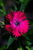 Maiden pink. Bright wildflower - maiden pink closeup Royalty Free Stock Photography
