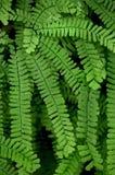 maidenhair папоротника Стоковое Изображение RF