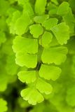 maidenhair Obraz Royalty Free