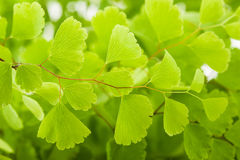 maidenhair Stockbild