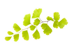 maidenhair Royaltyfri Bild