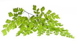Maidenhair Blätter Lizenzfreies Stockfoto