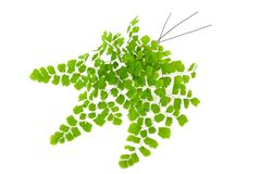 Maidenhair branch Stock Images