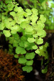 Maidenhair Farn Stockfotos