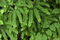 Maidenhair Fern Stock Images