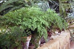 Maidenhair fern royalty free stock photo