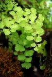 Maidenhair fern Stock Photos