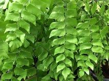 Maidenhair fern Royaltyfri Bild