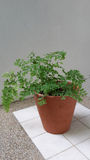 Maidenhair fern Royaltyfri Fotografi