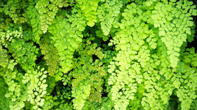 Maidenhair Fern. An abstract background with the leaves of a maidenhair fern plant hanging down. Photo taken on December 22nd, 2014 Stock Photo