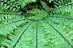 Maidenhair Fern - Adiantum aleuticum Stock Images