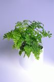 Maidenhair Fern. Adiantum, commonly known as maidenhair fern Royalty Free Stock Photography