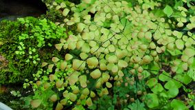 Maidenhair fern1. Maidenhair fern or Adiantum in the other species from Thailand Stock Image