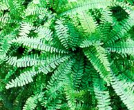 Maidenhair Fern, Adiantum pedatum. Bright, fresh greens of a Maidenhair Fern, Adiantum pedatum.  A fern in soft light showcasing wiry, purple-brown petioles and Royalty Free Stock Photography