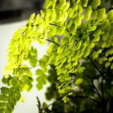 Maidenhair Fern. Close up of the delicate leaves and black fronds of the beautiful  Adiantum, or more commonly known as the Maidenhair Ferm Royalty Free Stock Photo